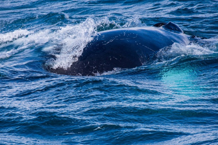 Humpback Whales Iceland