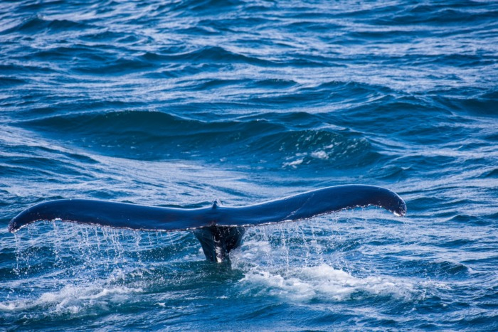 Whale Tails Iceland
