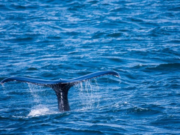 Humpback Whale Watching Tour, Iceland